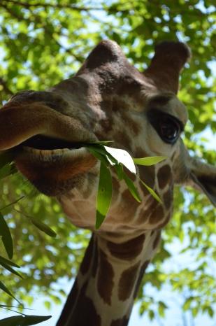 Giraffe Teeth! 24 Hour Photoshoot